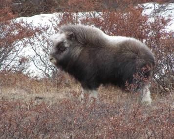 The wind and cold don't bother this baby muskox. Its long, coarse outer fur keeps it waterproof and windproof. Its underfur, qiviut, traps its body heat to keep it very warm. Muskoxen are one of the only large animals hearty enough to survive year-round in the Arctic. Although their populations have fluctuated over the last century, today they number around 3,800 in Alaska – many of them in Bering Land Bridge National Preserve. Posted on Tumblr by the US Department of the Interior, 1/20/16.