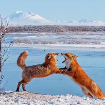 Check out these playful red foxes at the Alaska Peninsula National Wildlife Refuge. Photo by Robert Dreeszen. Tweeted by the US Department of the Interior, 1/14/16.
