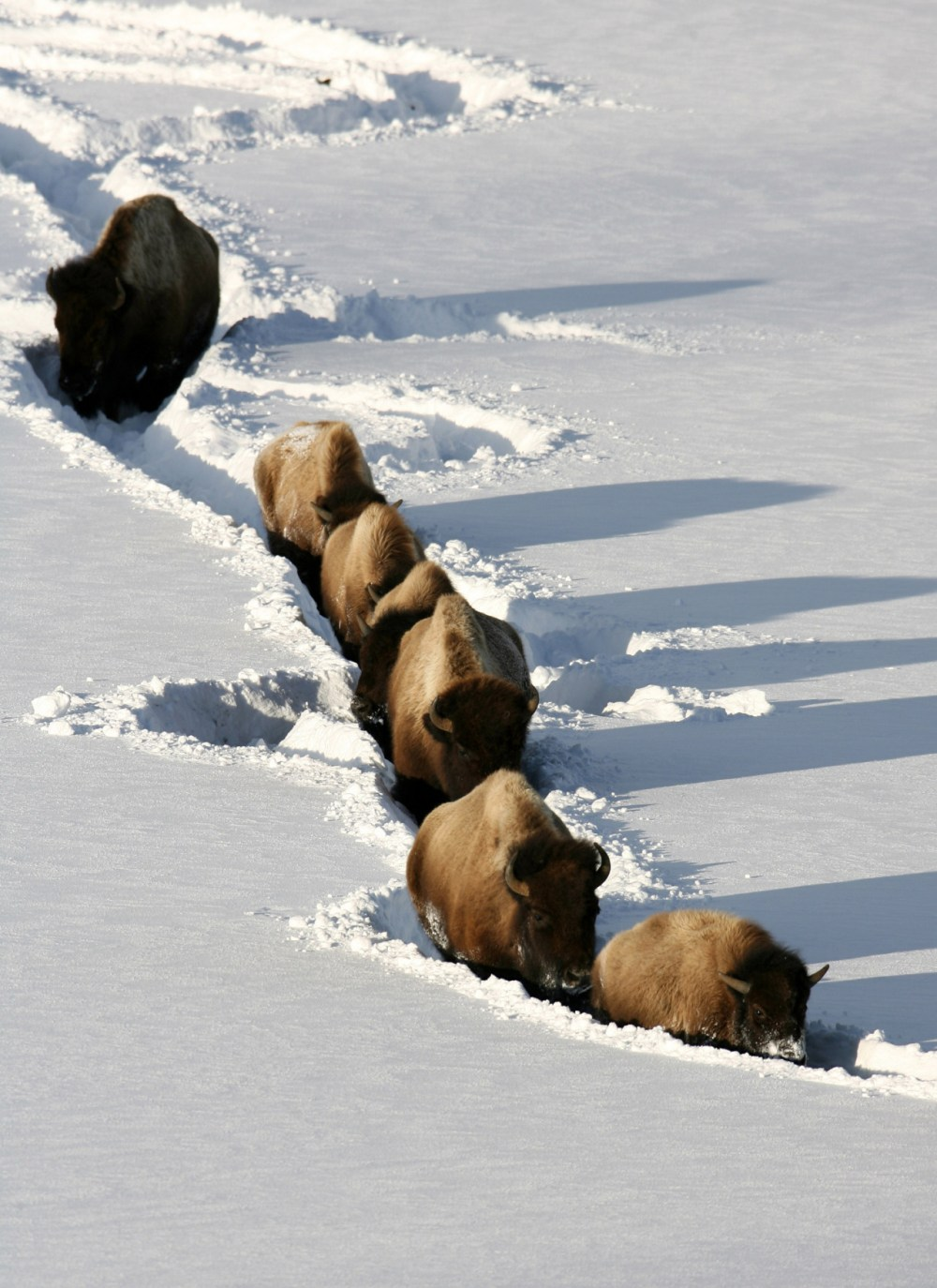 Walking in the deep snow can be difficult. Bison use their strong necks to push forward and make a path, their shaggy faces keep them from getting too cold and they take turns leading the way. These adaptations allow them to thrive in the harsh winter conditions of Yellowstone National Park in Wyoming. Photo by Jim Peaco, National Park Service. Posted on Tumblr by the US Department of the Interior, 1/23/16.