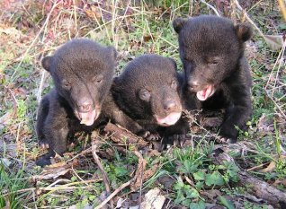 The black bear population in Louisiana is on the rise! Tweeted by the US Department of the Interior, 3/10/16.