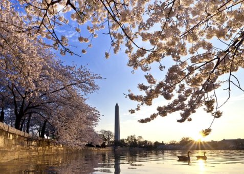 The cherry trees in full bloom on the Capital Mall. Photo by Buddy Sector. Tweeted by the US Department of the Interior, 3/24/16.