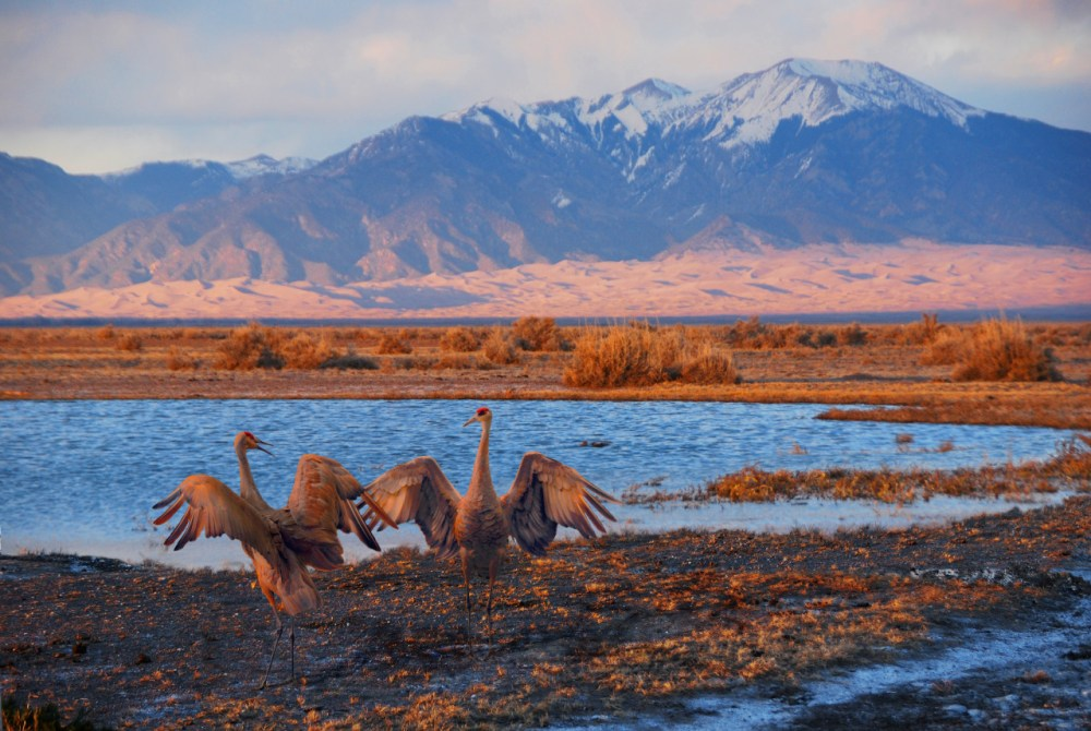 Every March, thousands of Sandhill cranes stop in Great Sand Dunes National Park & Preserve on their way to their northern breeding grounds. The fields and wetlands of Colorado's San Luis Valley provide excellent habitat for these majestic birds. With the dunes and mountains nearby, they dance and call to each other. It's one of nature's great spectacles. Posted on Tumblr by the US Department of the Interior, 3/11/16.