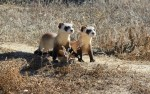 Black Footed Ferrets 2