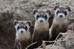 Black Footed Ferrets 3