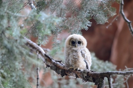 A baby Mexican spotted owl at Zion National Park in Utah! National parks aren't just for people to enjoy – they also preserve important habitat for wildlife like the Mexican spotted owl, found in Zion's slot canyons. It's one of the largest owls in North America and is listed as a threatened species by both the U.S. and Mexican governments. Protecting parks helps ensure these owls have a home for years to come. Photo by Sarah Stio, National Park Service. Posted on Tumblr by the US Department of the Interior, 8/22/16.