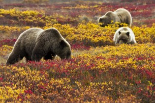 Fall at Denali National Park in Alaska means gorgeous autumn colors and hungry brown bears. To get ready their long winter sleep, bears spend the summer and fall packing on the pounds – gorging themselves on salmon, berries and grass. Sleeping snugly in their dens, breathing only once a minute and dropping their heart rate to 8-10 beats a minute, bears will live on their fat stores during the dark, cold winter. Photo by Jacob W. Frank, National Park Service. Posted on Tumblr by the US Department of the Interior, 9/29/16.