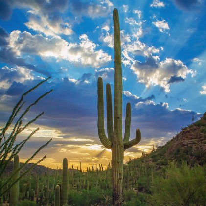 Arizona's Saguaro. Photo by David Olsen. Tweeted by the US Department of the Interior, 12/16/16.