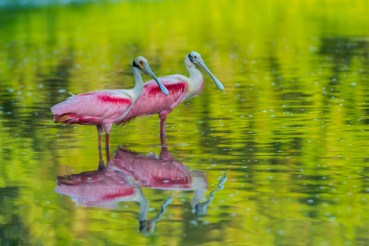 Roseate spoonbills standing in shallow water at Everglades National Park in Florida. Photo by Jose Mirabal. Blogged by Department of the Interior.