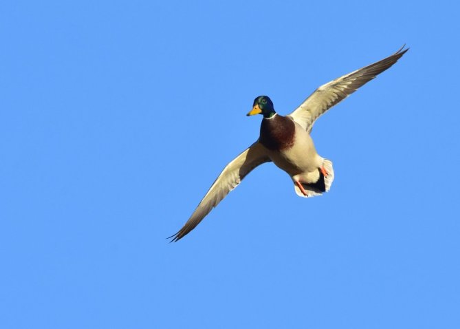 Mallard in flight, posted by the US Department of the Interior 11/15/16.