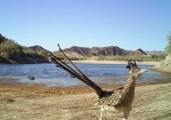 Greater Roadrunner standing by a lake. Photo by Bureau of Reclamation research camera. From the US Department of the Interior blog, 10/12/16.