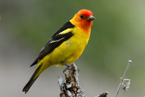 Western Tanager perched on a tree branch. Photo by U.S. Fish and Wildlife Service. From the US Department of the Interior blog, 10/12/16.