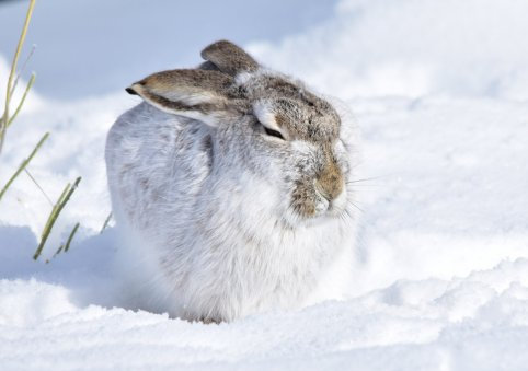 A white-tailed jackrabbit on Seedskadee National Wildlife Refuge blends into the background with his white winter fur. Photo by Tom Koerner/USFWS. Tweeted by the US Department of the Interior, 1/31/17.