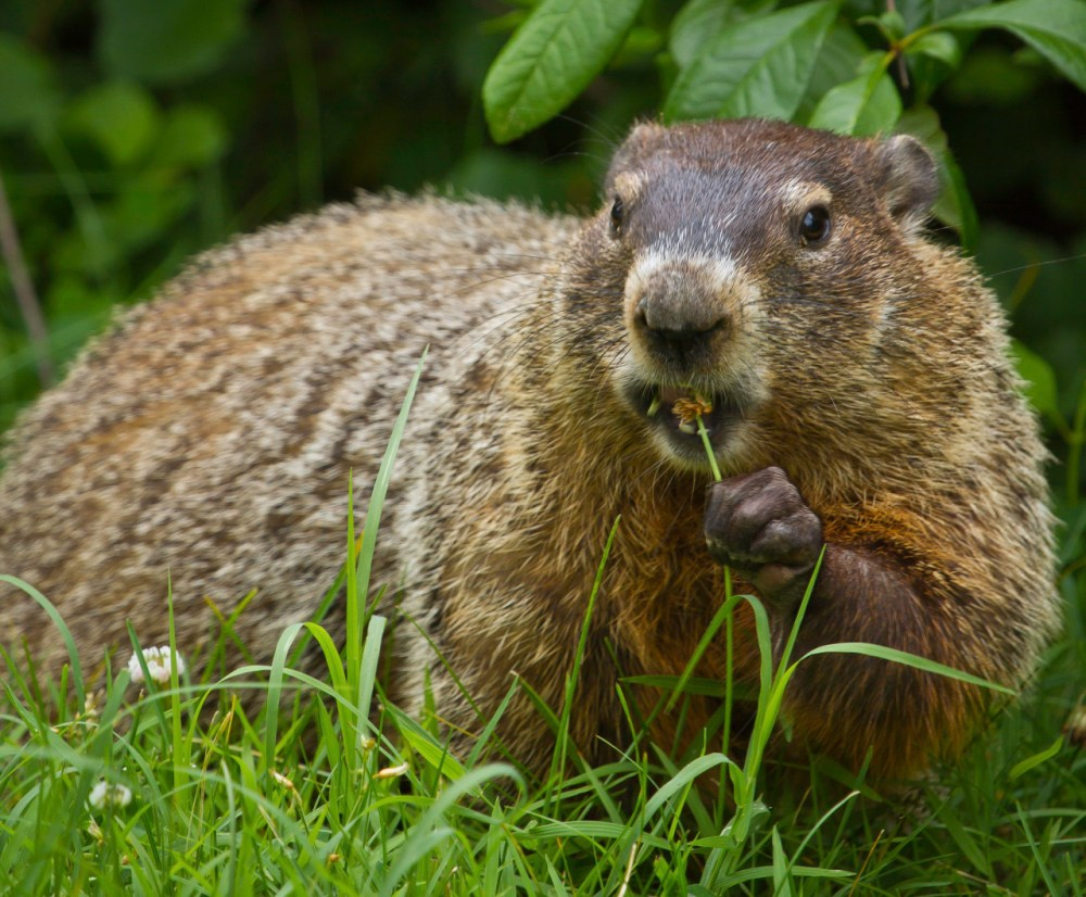 """Groundhogs have short ears and a short tail, and can weigh up to 11 pounds. They have two layers of fur: A dense grey undercoat and a longer coat of banded guard hairs that gives the groundhog a """"frosted"""" appearance. Despite how they look, groundhogs are good swimmers and tree climbers. Photo of a groundhog eating a flower at Shenandoah National Park by National Park Service. Posted on Tumblr by the US Department of the Interior, 2/2/17."""