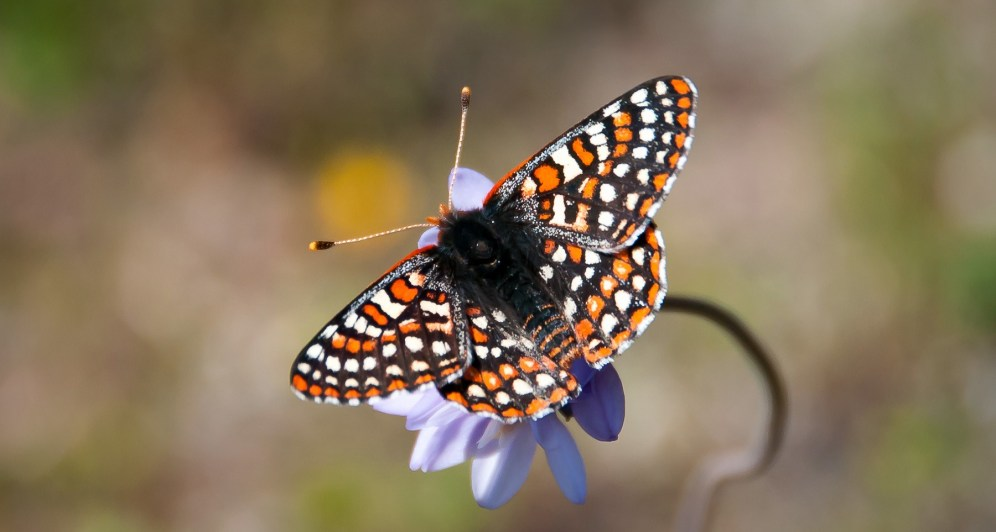 A member of the brushfoot family, the black, white, and orange-checkered butterfly was once commonly seen south of Ventura County, ranging to the inland valleys south of the Tehachapi Mountains and into northern Baja California. The last time one was spotted on the San Diego National Wildlife Refuge was in 2012. Photo by Andrew Fisher/USFWS. Tweeted by the US Department of the Interior, 2/2/17.