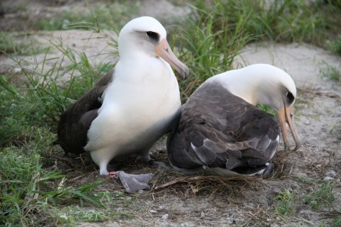 Many birds are monogamous, but Laysan Albatrosses mate for life. Young birds search for a mate with elaborate courtship dances. Once they hit breeding age, Albatrosses breed their entire lives, hatching and caring for one chick at least every other year. Pictured here is Wisdom -- the oldest living, banded, wild bird -- and her current mate at their nest at Midway Atoll National Wildlife Refuge. Photo by Pete Leary, USFWS, from the US Department of the Interior blog.