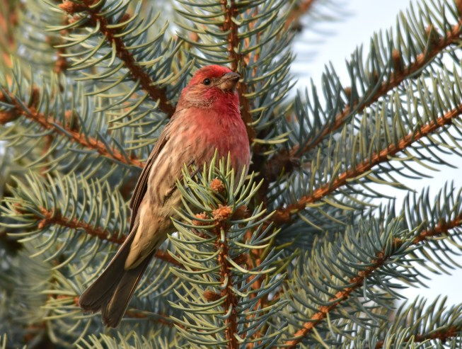 """Purple finch. Photo taken at Manhattan, KS. The Purple Finch is the bird that Roger Tory Peterson famously described as a """"sparrow dipped in raspberry juice."""" Photo by Tom Koerner, and tweeted by the US Fish & Wildlife Service 4/24/17."""