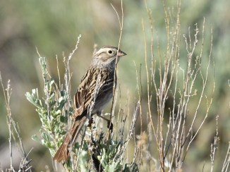 A Brewer's sparrow perched on a Wyoming Big Sagebrush at Wyoming's Seedskadee National Wildlife Refuge. Photo by Tom Koerner/USFWS. Taken on 6/5/17 and posted on Flickr by the US Fish & Wildlife Service.
