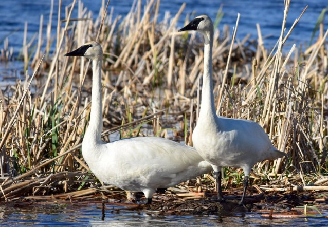 Trumpeter Swans. Tweeted by the US Fish & Wildlife Service, 6/2/17.