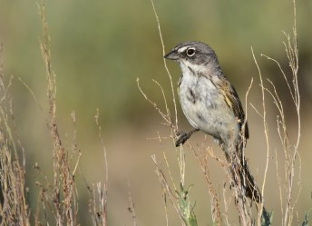 Sagebrush sparrow on Seedskadee National Wildlife Refuge. Photo taken by Tom Koerner/USFWS 6/21/17 and then posted on Flickr by the US Fish & Wildlife Service.