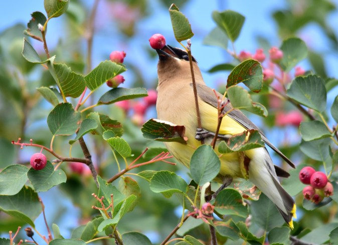 Cedar waxwing feeds on Saskatoon serviceberry at Seedskadee National Wildlife Refuge. Photo by Tom Koerner/USFWS. Taken 7/24/17 & posted on Flickr by the US Department of the Interior.