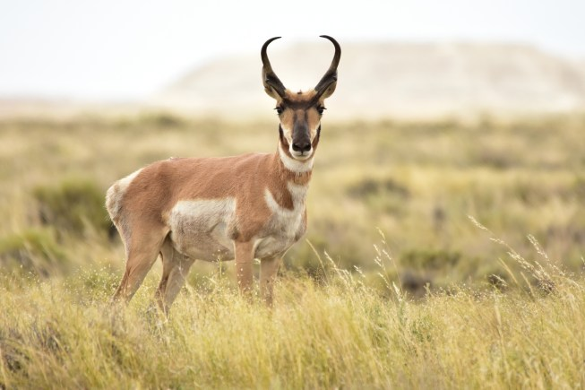 Pronghorn on Seedskadee National Wildlife Refuge. Photo by Tom Koerner/USFWS. Photo taken on 7/10/17 and posted on Flickr by the US Fish & Wildlife Service.