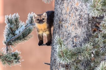 While not rare, pine martens can be hard to photograph. This one was spotted at Yellowstone National Park. Photo by Jacob W. Frank. Tweeted by the US Department of the Interior, 5/23/17.