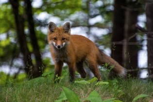 A red fox in Maine's Acadia National Park. Photo by Matthew Lambert, National Park Service. Posted on Tumblr by the US Department of the Interior, 6/28/17.