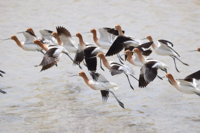 American avocets take flight at Utah's Bear River Migratory Bird Refuge where wetlands provide food, shelter, space, & water. Photo by USFWS. Tweeted by the US Fish & Wildlife Service, 8/12/17.