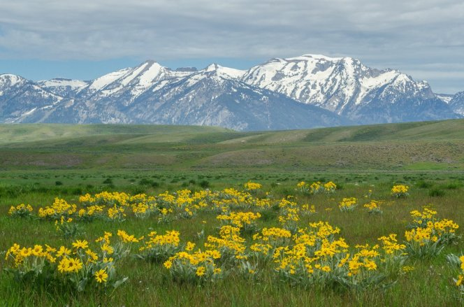 Arrowleaf balsamroot blooms create a field of gold. These vibrant native western wildflowers are part of the sunflower family. Photo by USFWS. Tweeted by the US Fish & Wildlife Service, 8/18/17.