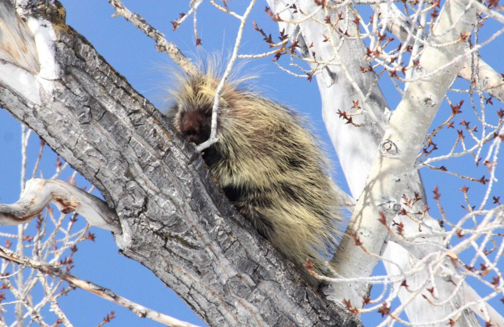 The North American porcupine is a skilled climber, spending a lot of its time in trees eating bark. It has 30,000 sharp quills. Photo: USFWS. Tweeted by the US Fish & Wildlife Service, 8/20/17.
