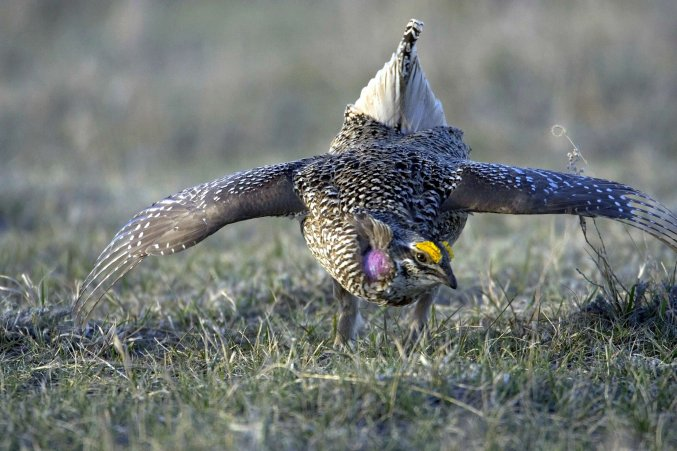 This sharp-tailed grouse is lekking—dancing and singing as an invitation to mate. Tweeted by the US Fish & Wildlife Service, 8/11/17.