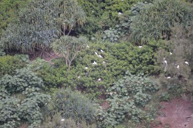 Kilauea Albatross Nests