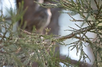 Sequoia needles.