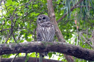Barred Owl. From the Everglades National Park Facebook page.