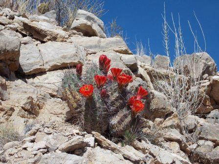 Beautiful Claret Cup Cactus in bloom in the desert. Photo credit Emily Ficker. From the Park's Facebook page.
