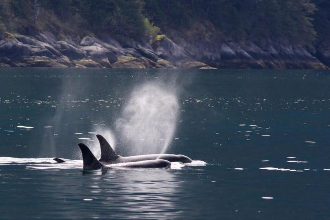 While many species migrate south for the winter, orcas patro Kenai Fjord year round. Tweeted by the US Department of the Interior, 12/4/13.