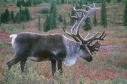 Bull Caribou. From the Park's website.
