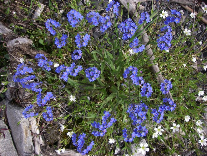 White Field Chickweed flowers poke up among the bright blue forget-me-nots, the Alaska state flower. From the Park's website.