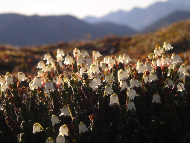 High on a ridge above the headwaters of the Alatna, Arctic Bell Heather flowers carpet the ground. From the Park's website.