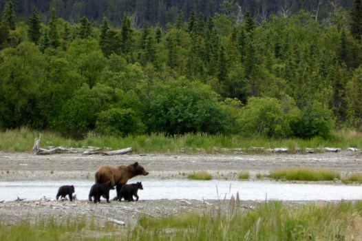 Three spring cubs, born this winter, with their mother at Katmai National Park. Posted by the US Department of the Interior on Flickr, 6/19/14.