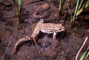 Columbia Spotted Frog. From the Yosemite National Park's website.