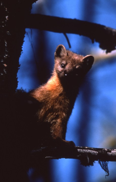 Pine Marten. From Yellowstone National Park's website.