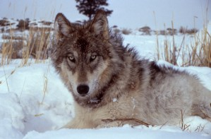 Wolf. From Yellowstone National Park's website.