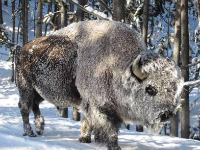 A frost-covered bison, tweeted by the US Department of the Interior, 11/15/13.