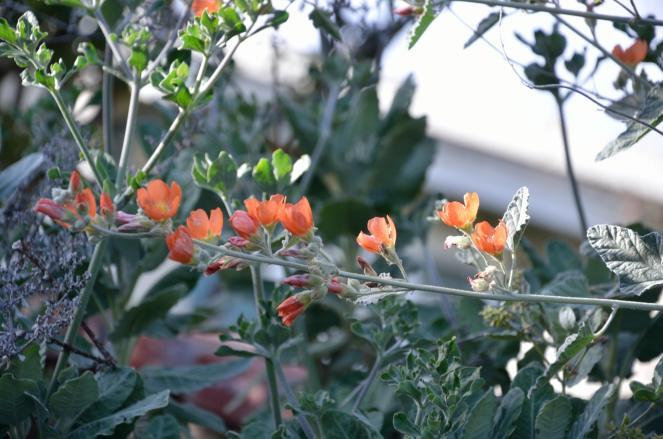Apricot mallow