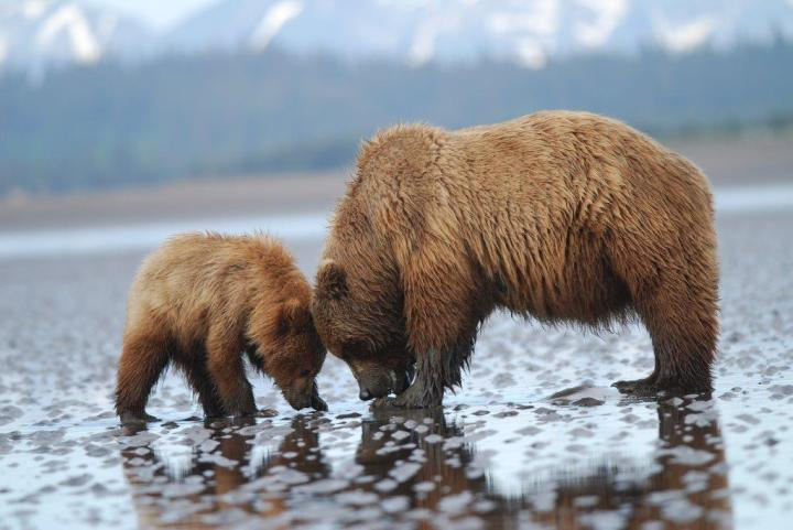 Mom teaching her cub to dig for clams in Alaska's Lake Clark National Park. Photo by Sally Jewell. Tweeted by the US Department of the Interior, 6/17/15.