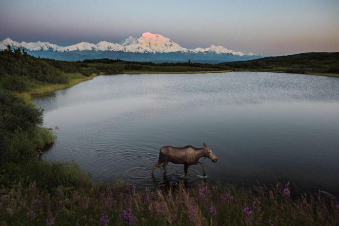 Summer sunsets at Denali National Park and Preserve in Alaska are truly special. Kent Miller snapped this dream-like photo of a moose walking along Reflection Pond. In the background, the top of Denali is illuminated by the setting sun at midnight. Photo by Kent Miller, National Park Service. Tweeted by the US Department of the Interior, 7/23/15.