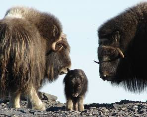 A visit to Bering Land Bridge National Preserve can feel like traveling back in time. The Bering Land Bridge provided a pathway for plants, animals and people to cross from the old world to new. Wildlife like the muskox remind us of our ancestors and how geography has shaped humankind. These iconic herbivores sport curved horns and can weigh between 400-800 pounds. Although their populations have fluctuated over the last century, today they number around 3,800 in the state of Alaska. Posted on Tumblr by the US Department of the Interior, 8/31/15.