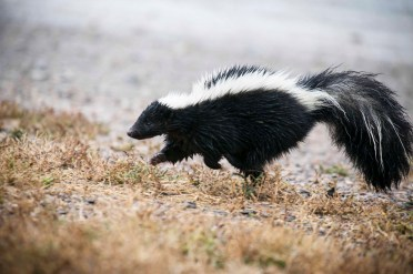 Skunks are known for their scent but usually only attack when cornered or defending their young. However, this iconic smell is not their first method of defense. A skunk will growl, spit, fluff its fur, shake its tail, and stamp the ground. If you miss those telltale signs then get ready to have a bad day. This pic was captured at Cokeville Meadows National Wildlife Refuge in Wyoming. Photo by K. Theule, US Fish & Wildlife Service. Posted on Tumblr by the US Department of the Interior, 9/29/15.