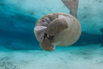 """Manatees, AKA Sea Cows, graze on grasses along the coastal waterways. In a huge win, their population has blossomed under protection while listed as an endangered species, leading the US to propose that they be moved to the """"threatened"""" list. Posted on Tumblr by the US Department of the Interior, 1/7/16."""